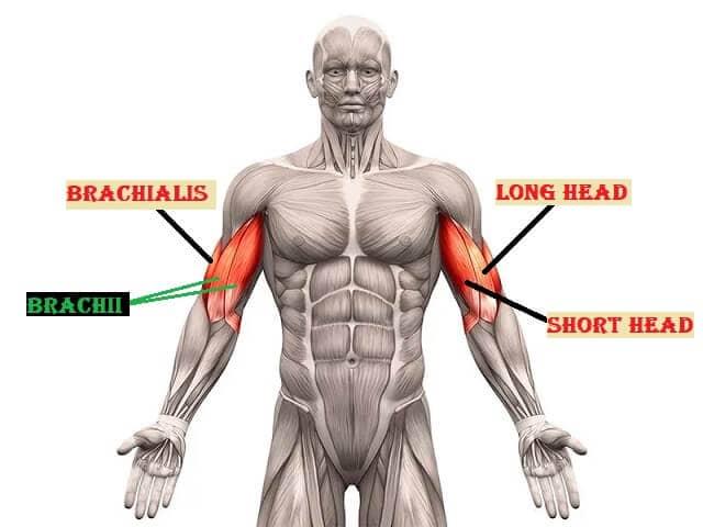 Anatomie van de bicep weergave met brachii en brachialis (korte en lange kop)